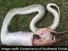 11-Foot Python Devours Deer Heavier Than Itself. Pics Not For The Weak