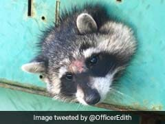 Nosy Raccoon Gets Head Stuck In Generator. How It Was Rescued