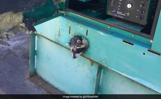 Nosy Raccoon Gets Head Stuck In Generator. How It Was Rescued