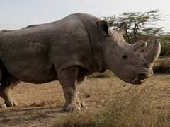 Sudan, The World's Last Male Northern White Rhinoceros, Has Died, Putting His Species On The Brink Of Extinction