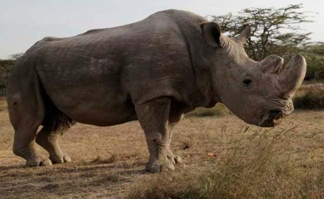 Sudan, The World's Last Male Northern White Rhinoceros,