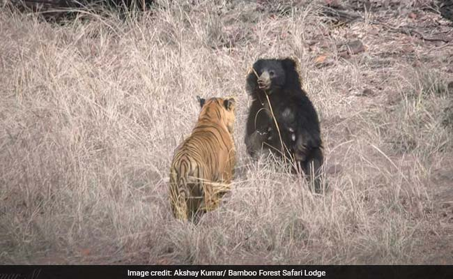 tiger vs sloth bear 650 1