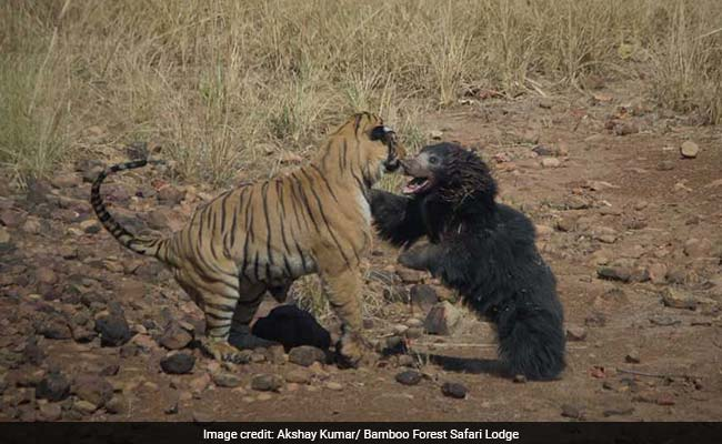 tiger vs sloth bear 650 2