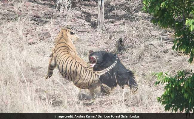 Video shows a tiger and bear fight in India