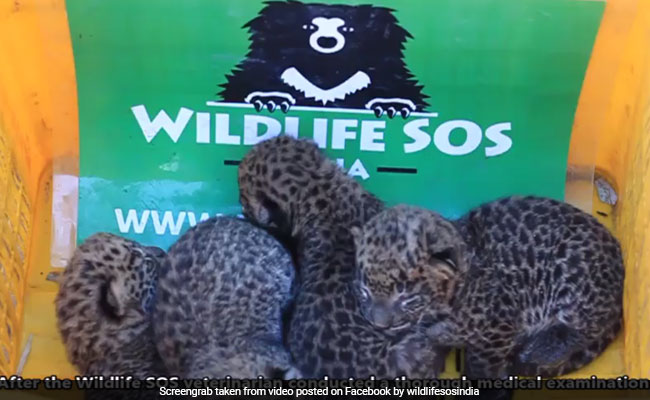Watch: 4 Lost Leopard Cubs Reunited With Their Mother In Maharashtra