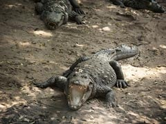 Drunk Man Jumps Into Pool Full Of Crocodiles. Arm Ripped Off But Survives