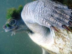 Australia's ''Punk Turtle'' Risks Being Last Of The Mohicans