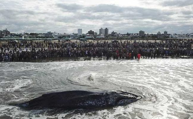 beached whale argentina afp 650 1