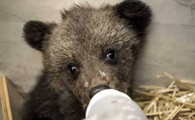 bear cubs rescued afp