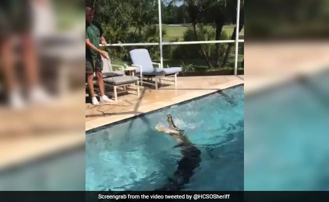 Another Day, Another 'Gator. This Time, 9-Foot Reptile Cools Off In Pool