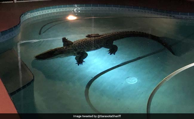 11 foot alligator enjoys late night swim in florida family 39 s pool watch for Late night swimming pools london