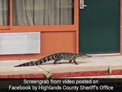 Watch: Baby Alligator Filmed Strolling Through Motel Corridor
