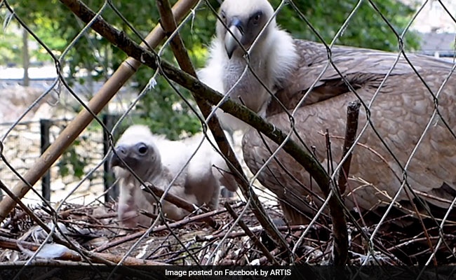Chick Adopted By Gay Vultures Released In The Wild