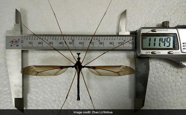 Giant Mosquito Found In China, Has 11.15 Centimetres Wing Span