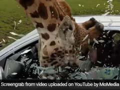 Viral Video Shows Car Window Shattering After Giraffe Gets Head Stuck
