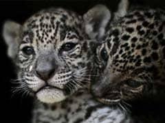 Newborn Jaguar Cubs Draw Fans At This Wildlife Park. See Adorable Pics