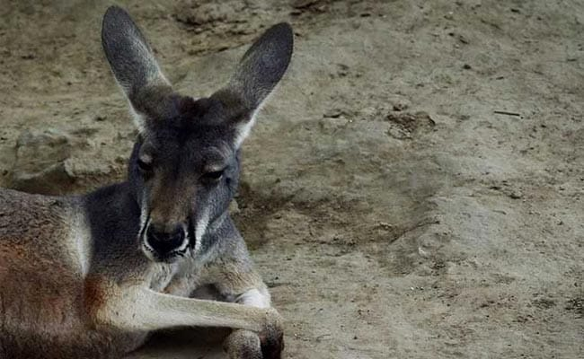 They Threw Bricks At Kangaroos In China Zoo To Get Them To Jump. One Died