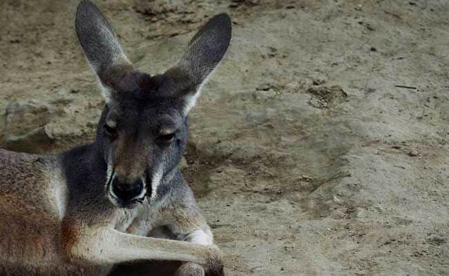 A Kangaroo Wouldn't Hop - So Zoo Visitors Stoned It To Death
