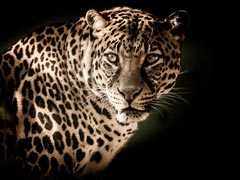 Leopard Mauls Woman To Death In Minutes, Drags Her Away In UP's Bahraich