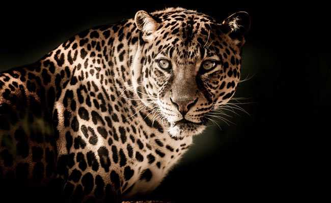 Man Finds Leopard In Room Where His Children Slept, Neighbours Kill It
