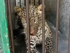 Leopard Cub Enters House, Hides Under Cot In Tamil Nadu Village