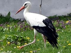 Male Stork Flies 14,000 Km Every Year To Be With The Love Of His Life