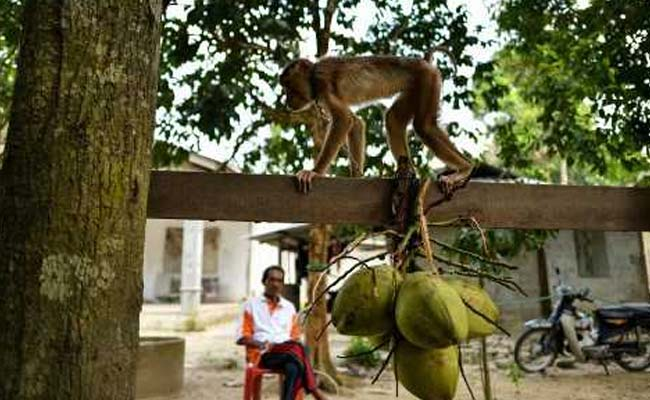 At This School, Monkeys Are Trained To Harvest Fruit For Farmers