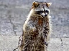 """""""Zombie-Like"""" Raccoons Are Terrorising Residents Of This Small Town"""