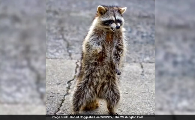 'Zombie-Like' Raccoons Are Terrorising Residents Of This Small Town