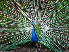 "Tricolour Burial For Peacock In Delhi, Activists Say ""Protocol Not Followed"""