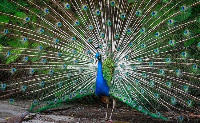 21 Peacocks Dead In Gurgaon, Deputy Commissioner Orders Probe Into Death