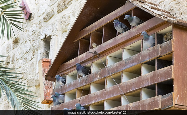 Pigeongram: In Social Media Era, Odisha Keeps Age-Old Practice Alive