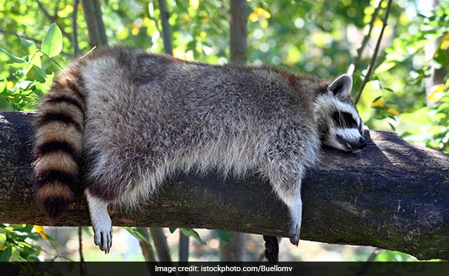 Woman Rushed To Fire Station At Night. Her Raccoon Got High On Marijuana