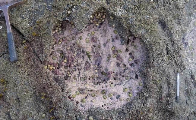 rare dinosaur footprint