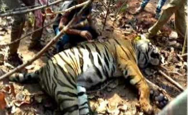 Bengal Tiger Carcass Found With Spear Through Its Face