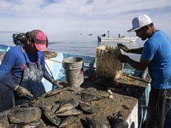 """Race For Mexico's """"Cocaine Of The Sea"""" Pushes 2 Species Toward Extinction"""