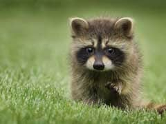 Panicked New Yorker Reports Tiger On The Loose. It Was A Raccoon