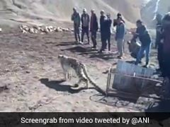 Villagers In Spiti Valley First Captured A Snow Leopard Then Set It Free