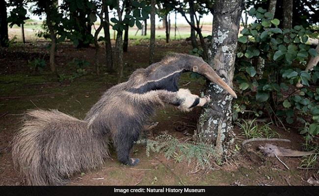 stuffed anteater 650