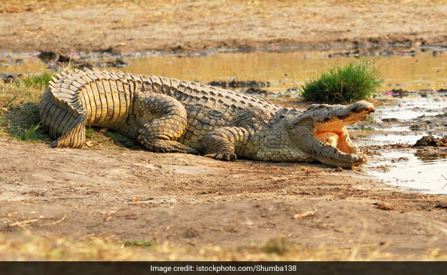 Crocodile Mauls Indonesian To Death In Malaysia, Nephew Spots Victim