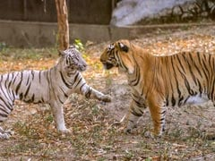"White Tiger ""Marries"" Royal Bengal Tiger At Delhi Zoo. Now, Wait For Cubs"