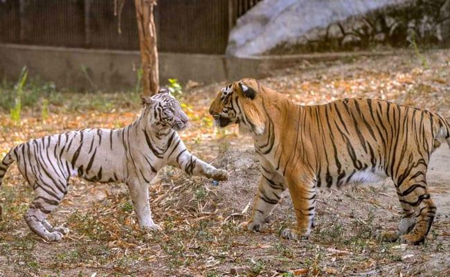 International Tiger Day 2018 : जंगल की दुनिया में बाघों की मुश्किलें