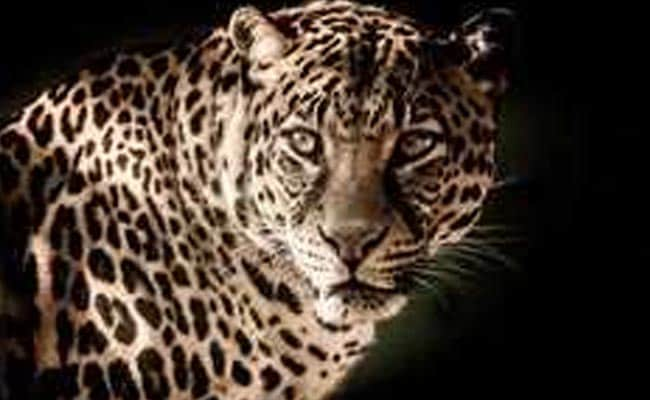 Leopard That Killed 2 Children Shot Dead In Uttarakhand