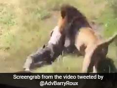 Caught On Camera: Lion Attacks Man Who Walked Into Its Enclosure