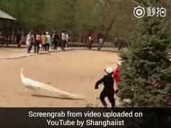 Children Chase Peacock, Rip Out Its Feathers. Parents Simply Watch