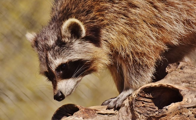 Flight Delayed By Seven Hours. A Raccoon Was To Blame