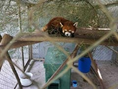 "Rescued Red Pandas ""Jackie Chan"" And ""Bruce Lee"" Find A Happy New Home"