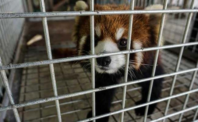 Rescued Red Pandas \