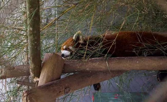 red panda afp 650 2