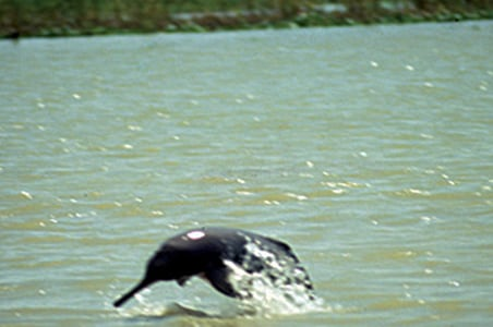 Dolphin now a National Animal for India